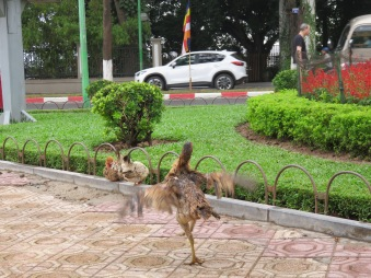 City chickens...