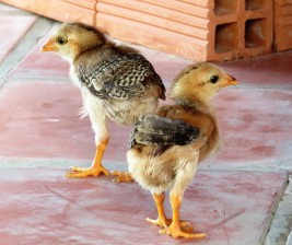 The baby chickens.